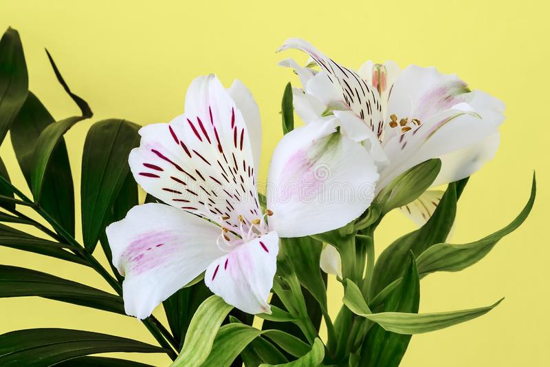 Gröna sidor och vita blommor av alstroemeria, kallade gemensamt den peruanska liljan eller liljan av incasna på en gul bakgrund arkivfoton