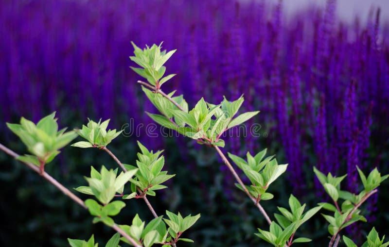 Gröna sidor på en bakgrund av purpurfärgade blommor Ljust h?rligt foto arkivfoton