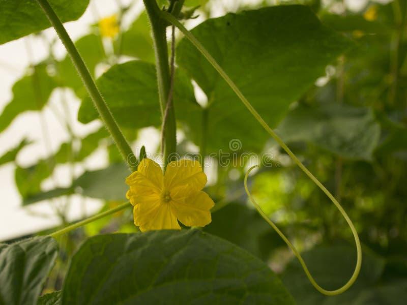 gröna små gurkor hänger på en filial i ett växthus Sk?rd av gurkor royaltyfri fotografi