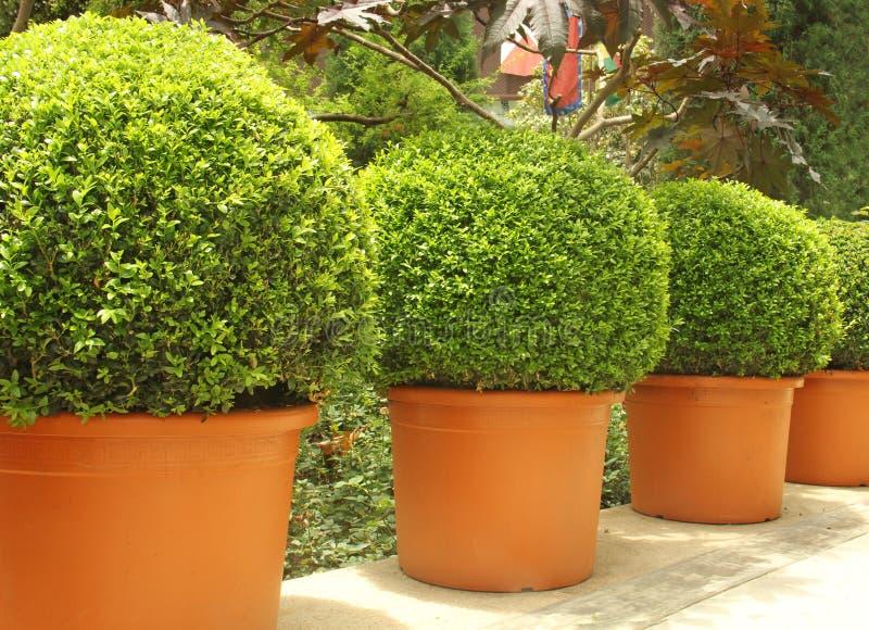Gröna små träd i bruna krukor royaltyfri fotografi