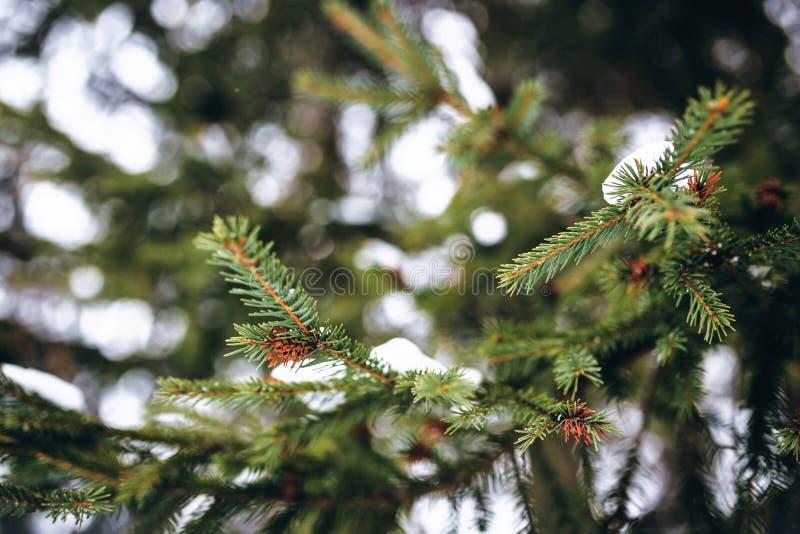 Gröna snöig filialer av slutet för julträd upp arkivbilder