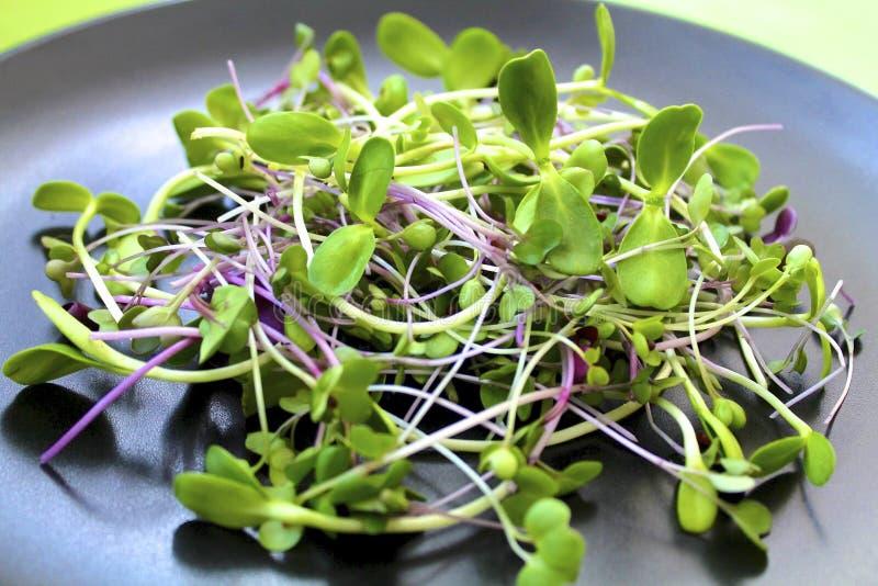 Gröna solrosgroddar och purpurfärgad rädisamikro-gräsplaner sallad på en svart platta royaltyfri foto