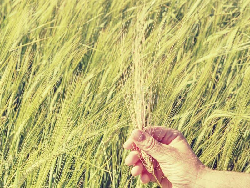 Gröna spikelets av korn i a mans handen som skördar, odling fotografering för bildbyråer