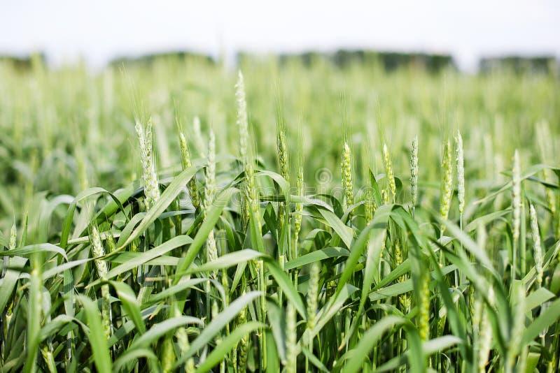 Gröna spikelets av vete på det jordbruks- fältet, gröna omogna sädesslag Härliga gröna veteöron som växer i fältet, lantlig plats royaltyfri foto