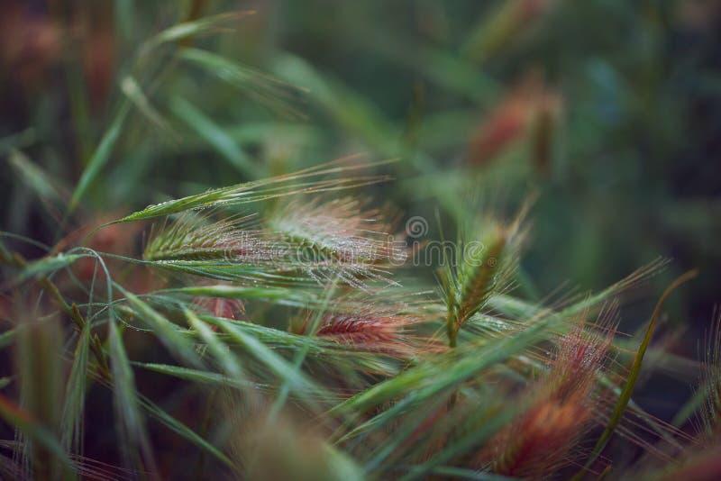 Gröna spikelets med droppar av dagg arkivfoton