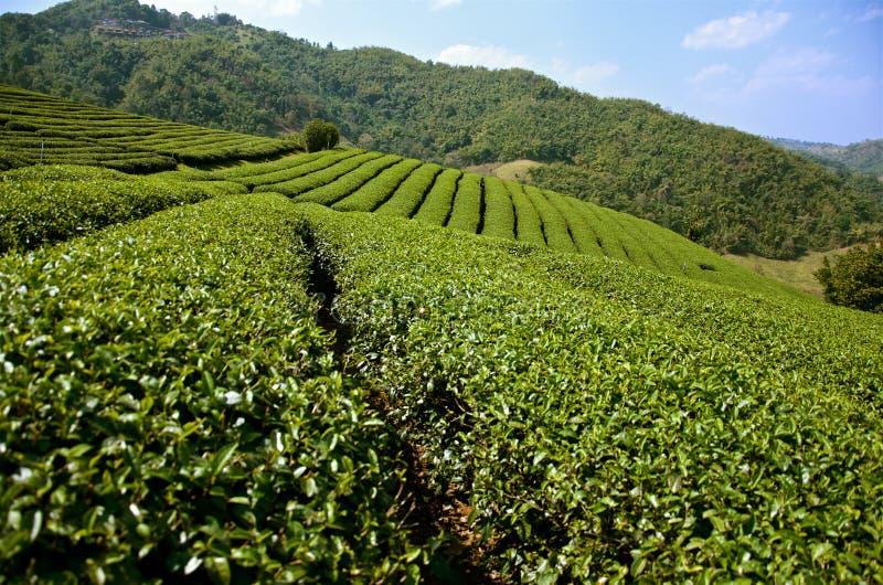 Gröna terrasser av nordliga Thailand tekolonier arkivfoto
