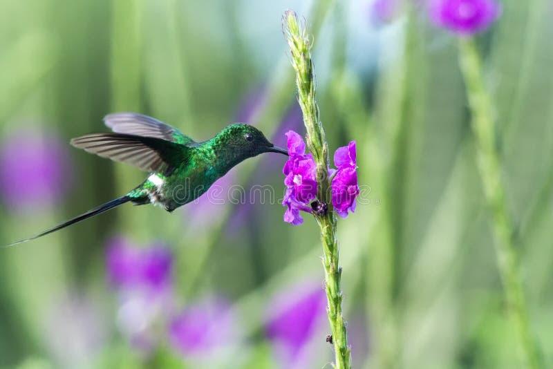 Gröna Thorntail som svävar bredvid den violetta blomman i trädgård, fågel från den tropiska skogen för berg, Costa Rica, kolibri royaltyfria foton