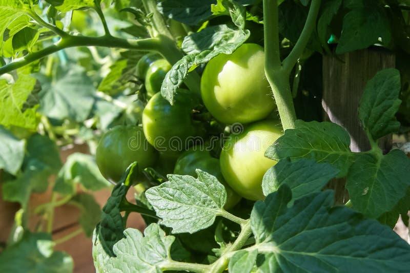 gröna tomater för filial royaltyfri foto