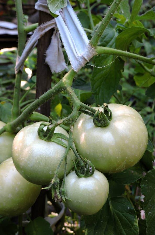 Gröna tomater på en filial som binds med den flätad tråden royaltyfri foto