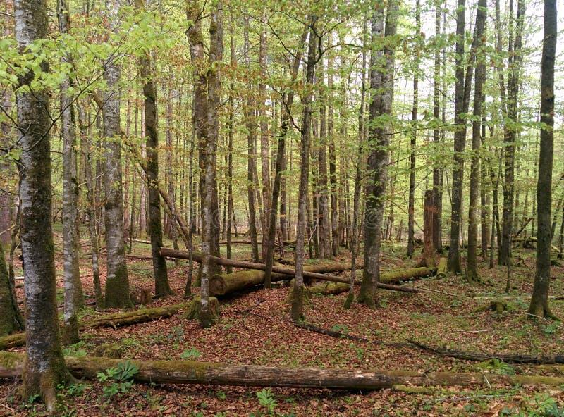 Gröna träd i den skogen med gamla träd som lägger på jordningen royaltyfri fotografi