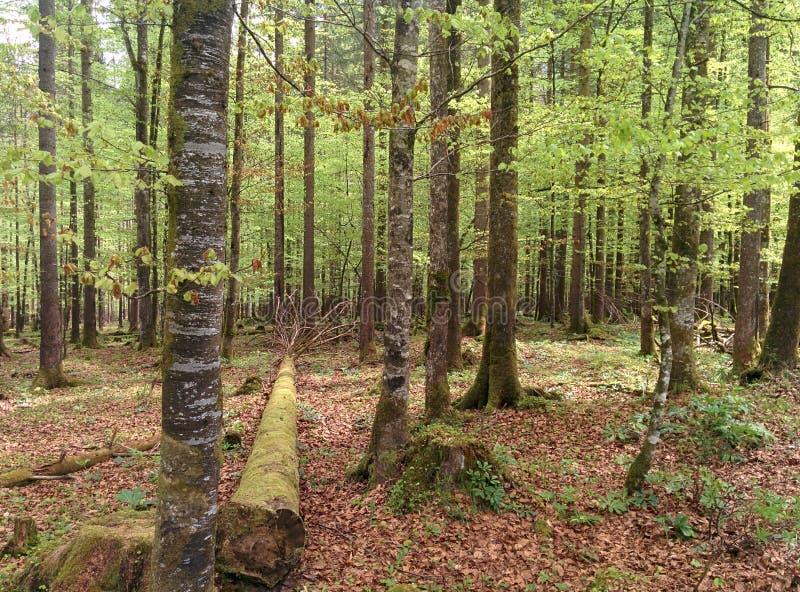 Gröna träd i skogen med ett stort gammalt träd som lägger på jordningen royaltyfria foton