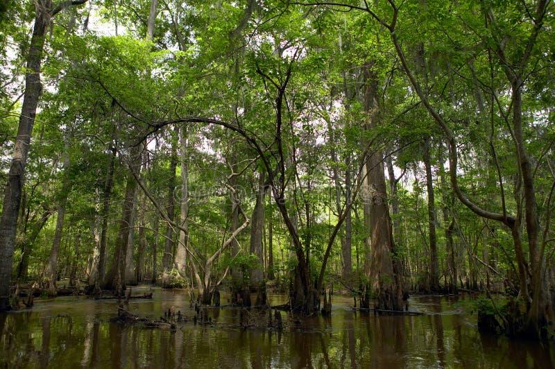 Gröna träd på det skuggiga träsket arkivbild