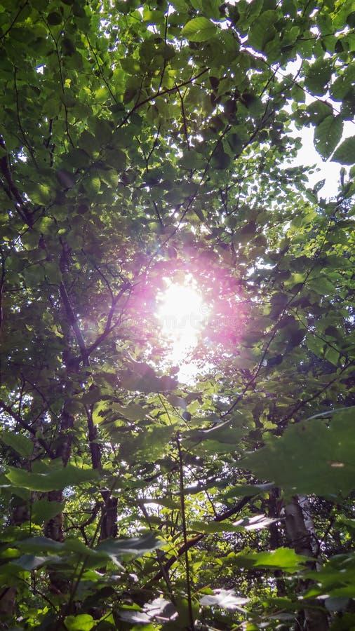 Gröna trädsidor i det ljusa solljuset royaltyfri foto