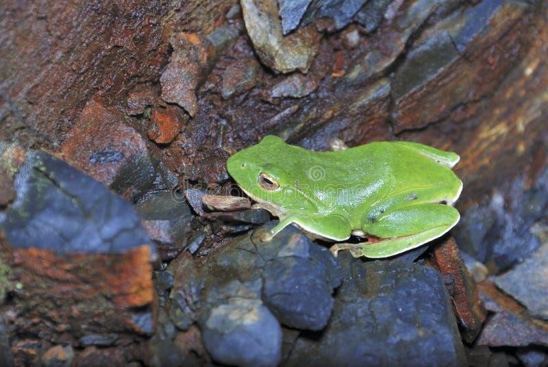 Gröna Treefrog är Taiwan endemiskart arkivfoto