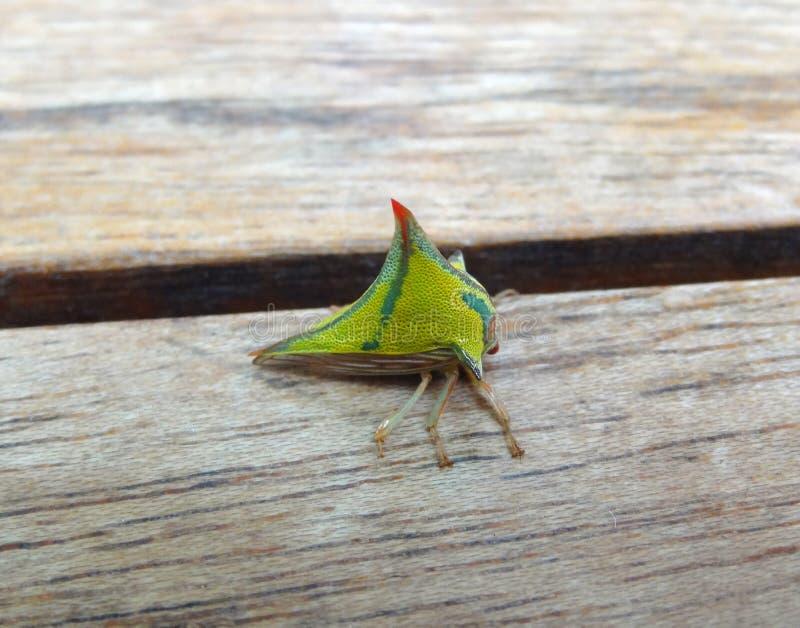 Gröna Treehopper royaltyfria foton