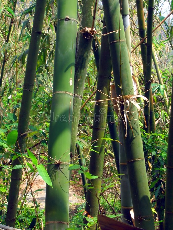 gröna trees för bambu arkivbilder