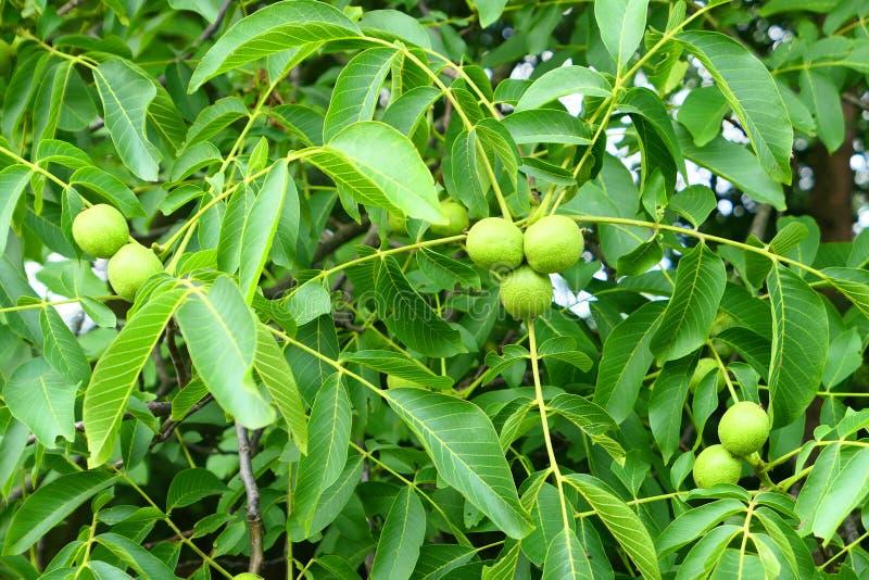 gröna treevalnötter royaltyfri bild