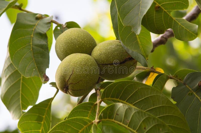 gröna treevalnötter arkivfoto