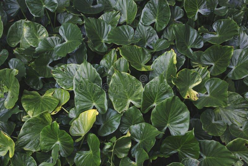 Gröna tropiska sidaväxter, slut upp av olika format av tjänstledigheter, naturlig bakgrund royaltyfri fotografi