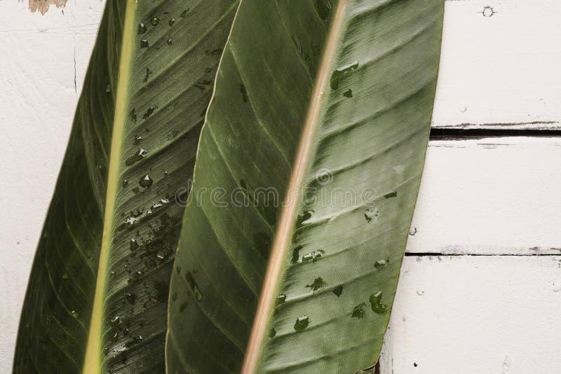 Gröna tropiska sidor ligger på en vit bakgrund av plattabräden arkivbild