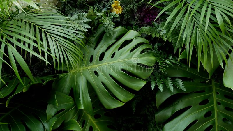 Gröna tropiska sidor Monstera, gömma i handflatan, ormbunken och bakgrunden för dekorativa växter