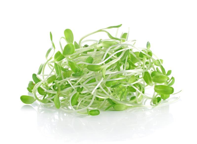 Gröna unga solrosgroddar som isoleras på vit bakgrund arkivfoton