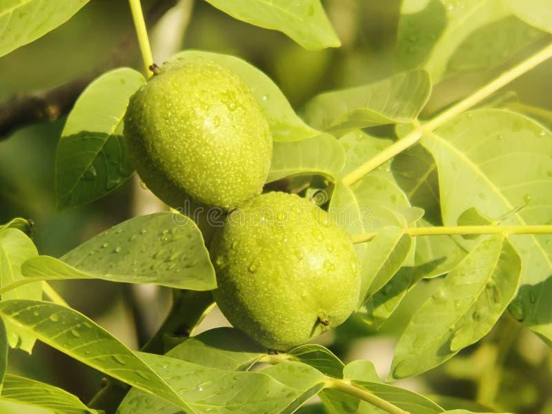 Gröna unga valnötter mognar på filial av trädet med gröna sidor fotografering för bildbyråer
