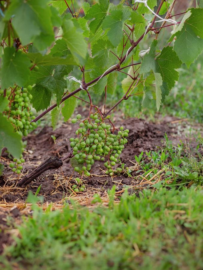 Gröna unga vindruvor i vingården Börja av sommarslutet upp druvor som växer på vinrankor royaltyfria foton