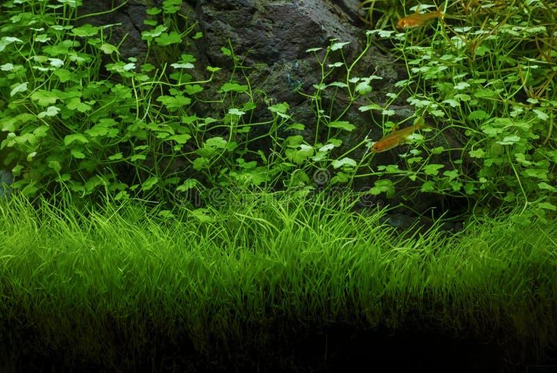 Gröna växter för akvarium arkivfoto