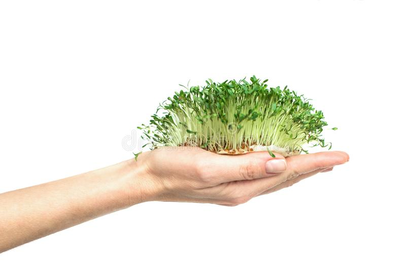 Gröna växter i hand, spirat frö av kryddkrassegrönsallat i gömma i handflatan på en vit bakgrund, isolaten, vegetarianism, rå foo arkivfoto