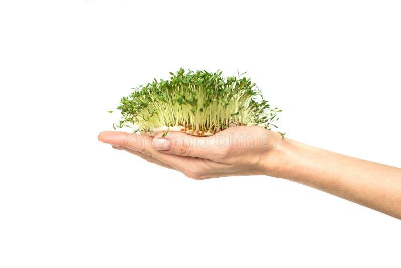 Gröna växter i hand, spirat frö av kryddkrassegrönsallat i gömma i handflatan på en vit arkivfoton