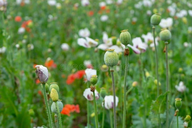 Gröna vallmohuvud och röda blommor i fältet royaltyfri fotografi