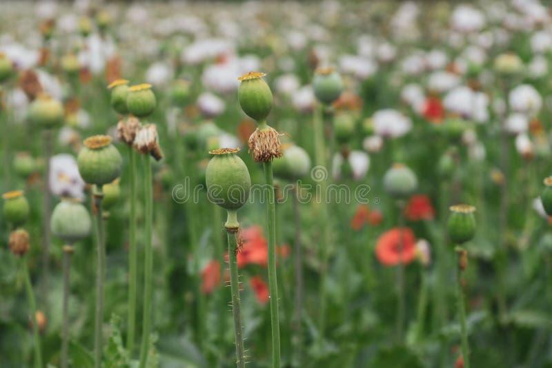 Gröna vallmohuvud och röda blommor i fältet royaltyfria foton