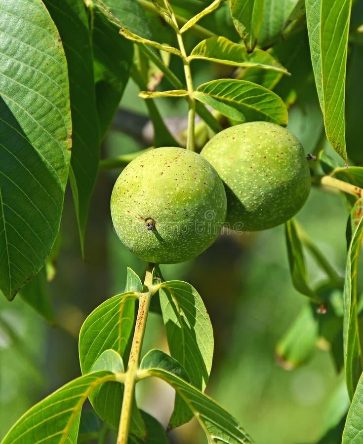 Gröna valnötter i treen royaltyfri foto