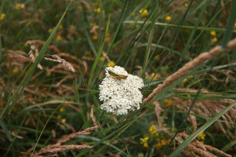 Gröna vildblommor för sommar och kryp, vit maskros, jordgubbar, purpurfärgad safflower, härlig botanik arkivfoto