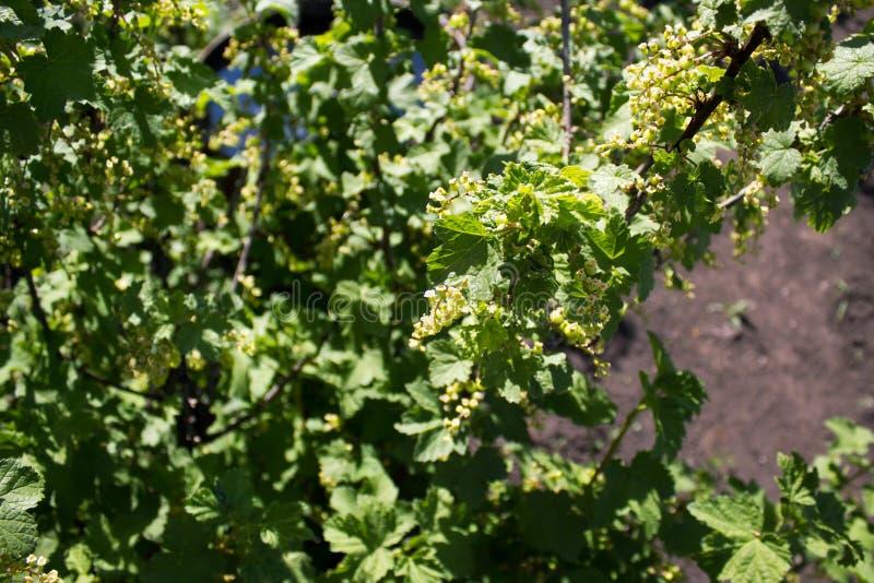 Gröna vinbär royaltyfria foton