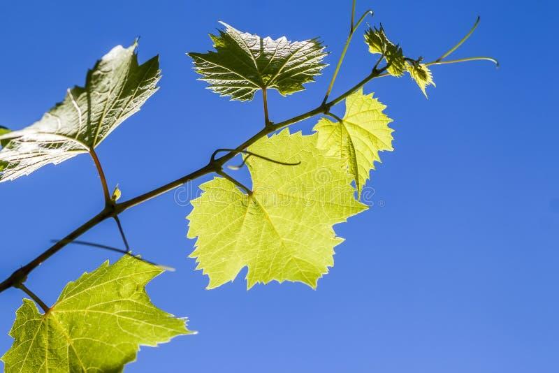 Gröna vinrankadruvasidor i sommarslut upp royaltyfri fotografi