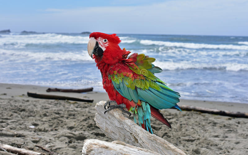 Gröna Wing Macaw på stranden royaltyfri fotografi