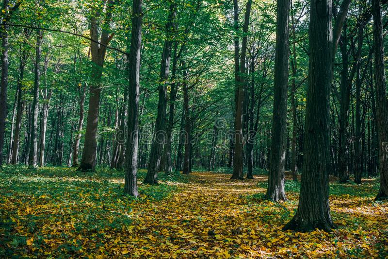 gröna wood solljusbakgrunder för natur guld- wood solljusbakgrunder för natur royaltyfri foto