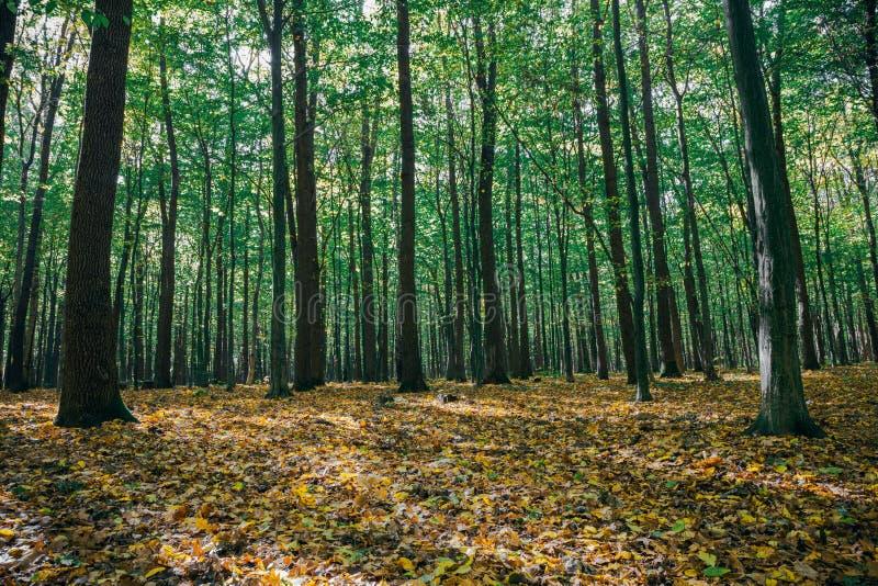 gröna wood solljusbakgrunder för natur guld- wood solljusbakgrunder för natur arkivbilder