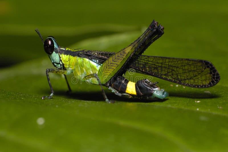 grönaktig blå gräshoppa royaltyfri fotografi