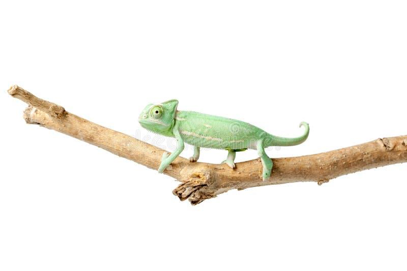 Grönaktig kameleont på filial arkivfoton