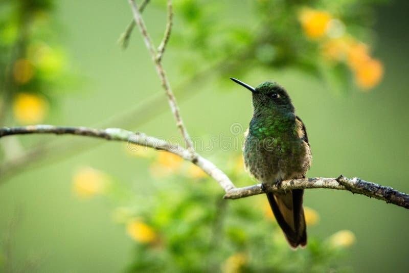 Grönaktig puffleg som sitter på filialen, kolibri från den tropiska skogen, Colombia, fågel som sätta sig, mycket liten fågel som arkivfoto