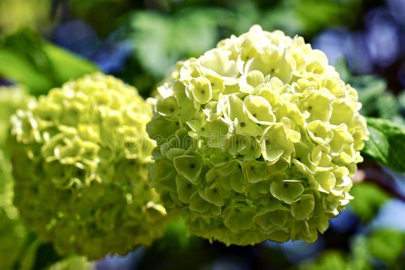 Grönaktiga blommor royaltyfria bilder