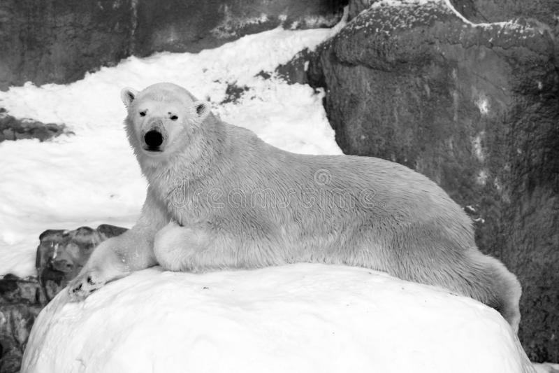 Gröngöling för isbjörnUrsusmaritimus på packeisen, nord av Svalbard arktisk Norge royaltyfri foto