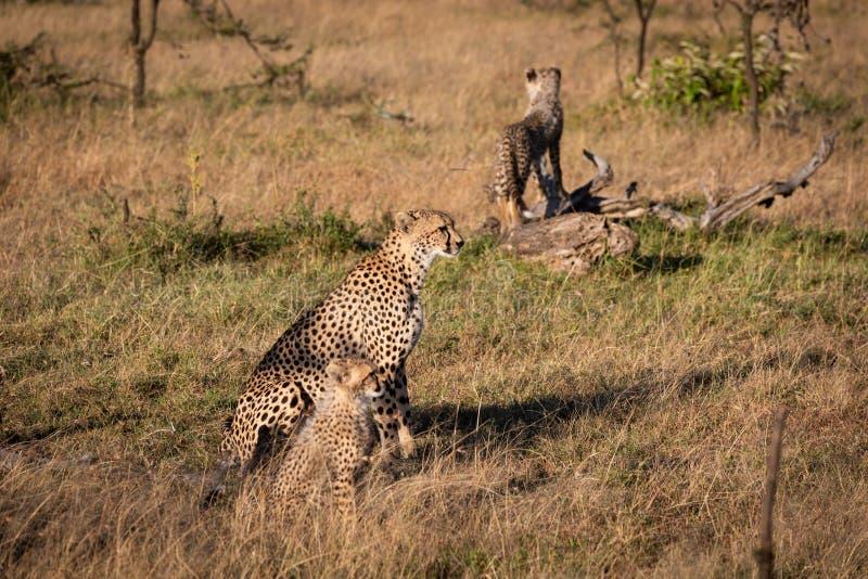 Gröngöling på journal bak gepard och sibling arkivfoto