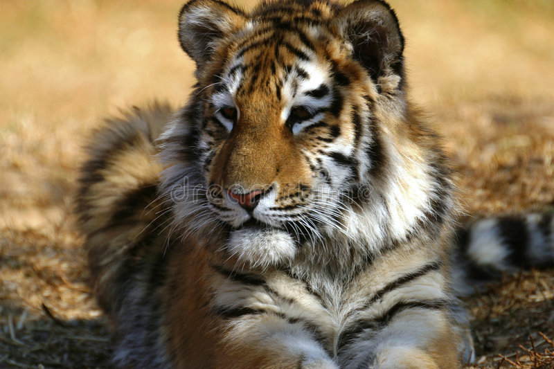 gröngöling som lägger ner tigern arkivfoto