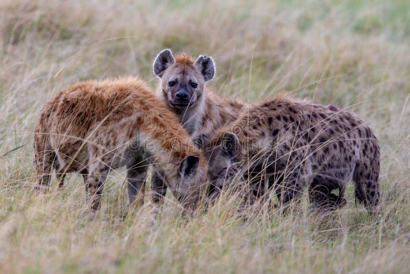 Gröngölingar för prickig hyena, Kenya, Afrika arkivbilder