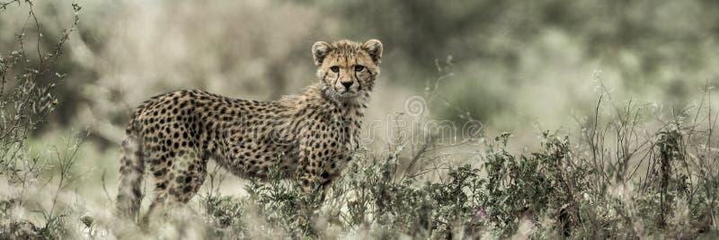 Gröngölinggepard i den Serengeti nationalparken arkivbilder