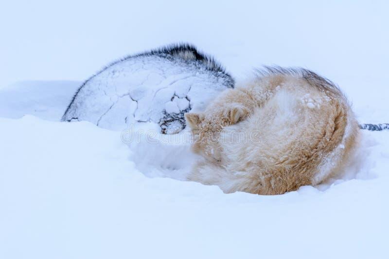 Grönlandslädehundkapplöpning som sover i snön fotografering för bildbyråer